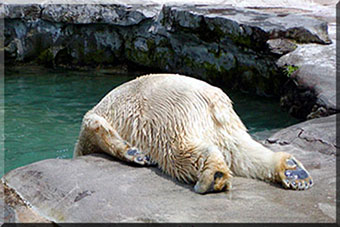 Polar bear hungover